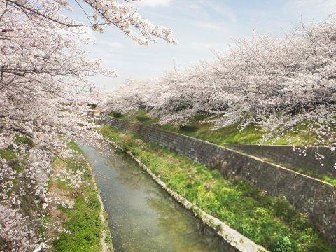 名古屋山崎川桜2