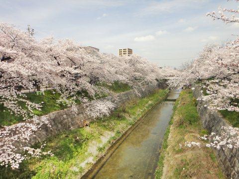 名古屋山崎川桜1