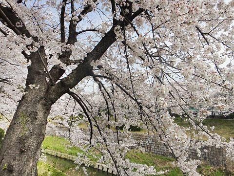 名古屋山崎川桜4