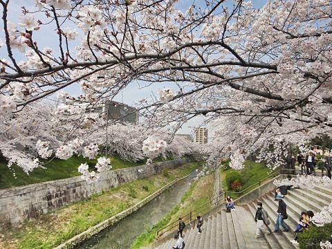名古屋山崎川桜5