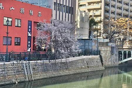 桜🌸が咲いている(名古屋市内納屋橋堀川沿い)1月なのに