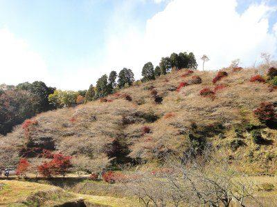 豊田市小原地区の四季桜🌸