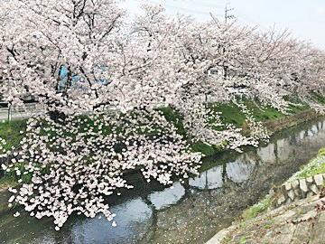 黒川桜022