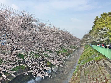 黒川桜011