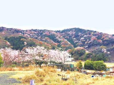 常神神子の山桜