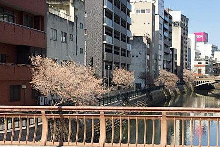 桜🌸が納屋橋堀川沿いに咲いてました(2月27日)